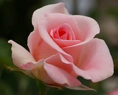 Summer Rose #3 (bluehazyjunem) Tags: pink summer rose 2007 excellence blueribbonwinner abigfave