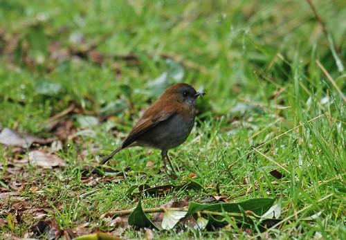 DSC_0073 Black-billed Nightingale Thrush