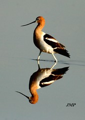 American Avocet Reflection  ( Ricurvirostra americana) (tanager55) Tags: reflection water american kansas reflexions avian avocet abigfave quiviranwr superaplus aplusphoto superhearts ricurvirostraamericana