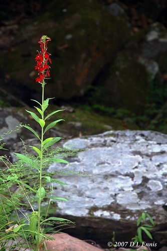 A Bouquet of One—Cardinal Flower