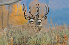 Mule Deer Bucks - 1193bsg (teagden) Tags: fall bravo searchthebest hole jackson deer explore wyoming bucks mule jacksonhole 2010 wy anawesomeshot mothernaturesgreenearth amazingwildlifephotography