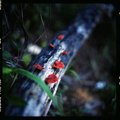 (19/77) Tags: slr film nature mushroom fungus malaysia 1977 negativescan kiev88 mediumfromat kodakektacolorpro160 autaut canoscan8800f arsat80mmf28 myasin