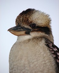Poser (aussiegall) Tags: bird beak feather kookaburra goalkeeper australiannative naturesfinest blueribbonwnner