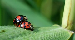 Lady beetle (Coccinellidae ) (sillie_R) Tags: bug insect beetle ladybird ladybeetle coccinellidae coccinella naturesfinest supershot matchpointwinner specinsect jalalspagesnaturealbum thechallengegame