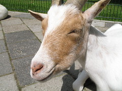 Pregnant goat basking in the sun (Sibi) Tags: born goat localzoo kasteelpark