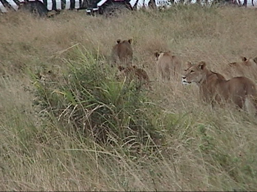 Lioness Hunting Group