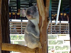 You Know I'm Cute (End of Level Boss) Tags: cute animal australian australia koala qld queensland lou marsupial australiazoo 2007  coala    koaala     koal      hayopngkoala  gingaithucchu