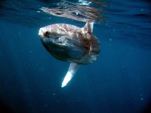 Mola Mola, Ocean Sunfish