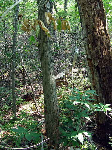 dying American chestnut with root sprouts