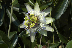 Passion Flower, Annapolis 034919