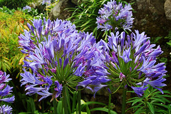 Agapanthus On Tresco 03/08/2007 (Gary S. Crutchley) Tags: flowers west cornwall country agapanthus isles scilly tresco