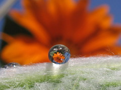 Nevena Uzurov - Jewel (Nevena Uzurov) Tags: water waterdrop drop droplet drops droplets refraction refractions macro single nature flower gazania orange leaf hairy light sun clear crisp bright nevenauzurov venkane вода кап капљица рефракција макро цвет лист природа сунце чист светао невенаузуров србија