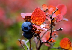 bláber / blueberry (Brynja Eldon) Tags: blue red macro nationalpark blueberry thingvellir autunm Þingvellir lyng bláber inmiddle brynjaeldon miðlæg