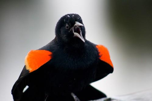 Red Wing Blackbrid