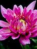 pink dreams (bdaryle) Tags: pink flower nature fleur rain closeup droplets petals sony flor simplythebest~flowers brandondaryle bdaryle imagesbybrandon