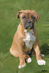 Boxer puppy (JudithKB) Tags: cs5 mixerbrush