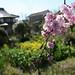 桜と裏の畑