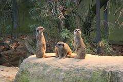 Erdmännchen / meercat