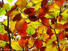 Feuilles d' Automne (Domi Rolland ) Tags: orange france nature automne europe vert couleur forêt feuille aveyron midipyrénées rougee