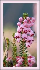 (Erica verticilata) (k.kounalaki) Tags: travel plant flower landscape greek colours village greece erica verticilata