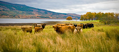 Duisky (dougiebeck) Tags: november grass scotland highlands cows lochaber locheil highlandcows duisky