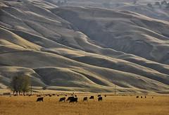 311/365 (Sharon LuVisi) Tags: california autumn nature landscape cows hills grazing grapevine fadedblurred3652010