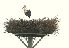 Stork on his nest in Welsum (tijmenkroes) Tags: ilovenature stork ooievaar naturesfinest supershot welsum superbmasterpiece beyondexcellence flickrelite searchandreward