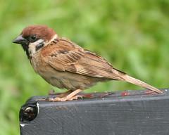 Eurasian Tree Sparrow (Passer montanus malacce...