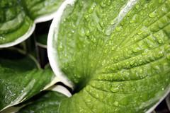 Hosta leaf water droplets