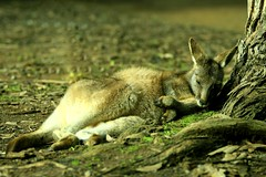 Sleeping Kangaroo (by fotograz)