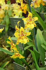 Odontocidium Tiger Crow 'Golden Girl' (Orchidaceae)