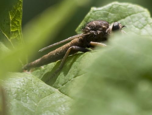 Robber Fly, presumed Proctacanthus