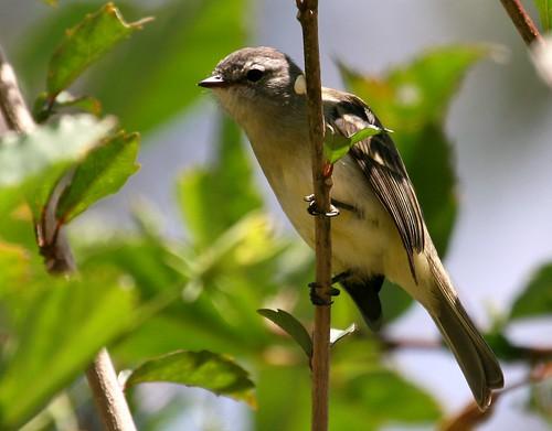 Piolhinho  ( Phyllomyias fasciatus  )