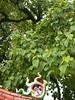 96.09.15六龜尾莊路台灣唯一克蘭老樹DSCN2089