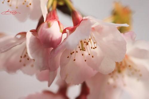 """""""anngyoh-sakura"""" in kawaguchi"""