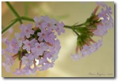 Summer Softness (Aqua0646 (Pat)) Tags: flowers macro bokeh lavender