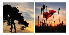Sunset Diptych (Baggers~) Tags: light sunset summer tree birds canon haze pretty poppies starlings g10