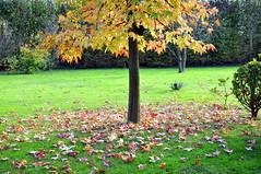 AUTUNNO  e L'ACERO (aldofurlanetto) Tags: autunno treviso acero concordians canizzano