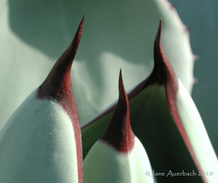 careful! (Agave parryi var. truncata)