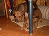Hunde - 62 (Manfred Lentz) Tags: pets dogs puppy pups puppies hunde littledogs welpen hündchen babydogs whelps