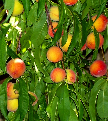 Ripe Spring Peaches Picture