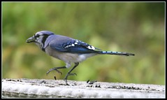 take out food (arwriterphotog) Tags: blue nature birds interestingness wildlife bluejay explore arkansas jays avian rightplacerighttime i500 arwriterphotog takeoutfood