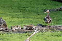 Mallard Duck (Anas platyrhynchos) and Ducklings DSC_0178 (NDomer73) Tags: bird duck duckling july 2006 mallard juvenile better ridgefield ridgefieldnationalwildliferefuge 15july2006 ridgefieldnwr