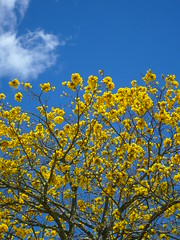 Guayacn (-Passenger-) Tags: flower tree passenger rbol guayacn tabebuiachrysantha carolinadelprncipe