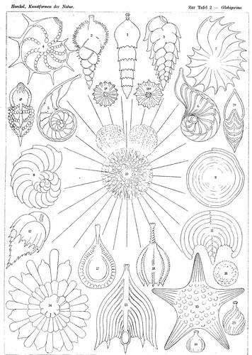 Haeckel_Kunstformen_020.jpg