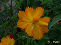 flores 01 nilceia Gazzola (21) (nilgazzola) Tags: brasil de foto sp fotos ou com nil minhas tirada maquina echapora gazzola nilgazzola