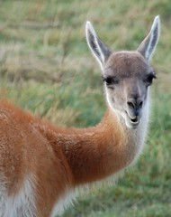 Guanaco, Torres del Paine (Niall Corbet) Tags: chile patagonia llama torresdelpaine guanaco