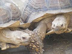 Outa my way....! (sillysnapper) Tags: tortoise essex wildanimals tropicalwings summer2007 fujifinepixs5700