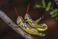 mating grasshoppers (Mundo Poco) Tags: macro canon insect contest sigma grasshopper rebelxt eos350d grasshoppers macrography 105mm naturesfinest melanoplus picturecollection megashot macrofoted buzznbugz aridlandsspurthroatedgrasshopper melanoplusaridus