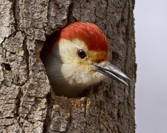 Red-bellied Woodpecker (Dah Professor) Tags: bird mercercounty birdphoto specanimal avianexcellence slbsingingandcalling slbnesting kh0831